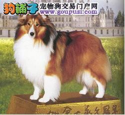 南京哪里有喜乐蒂牧羊犬出售 南京喜乐蒂犬多少钱