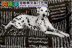 带星星的狗狗,斑点有犬,有点可爱哦!!~