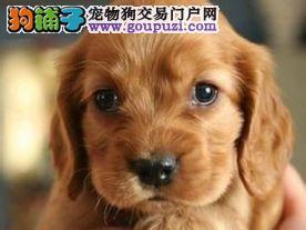 CKU注册血统证书出售泰迪熊等世界名犬签订健康协议