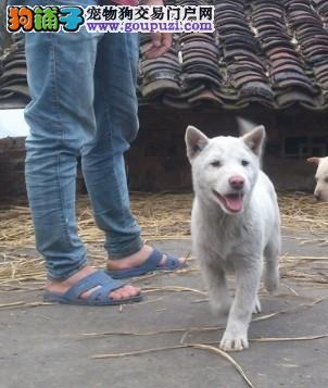 广西土猎,武汉需要看家或者打猎用的来