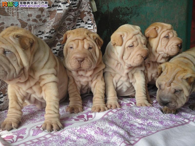 沙皮幼犬活泼可爱纯种温顺憨厚沙皮幼犬公母都有