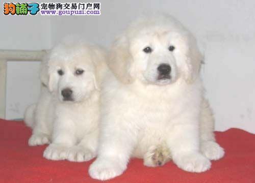 赛级大白熊犬 专业养殖基地 打完疫苗证书芯片齐全