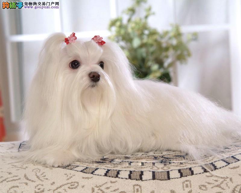 娇小马尔济斯犬出售 纯种马尔济斯繁殖基地