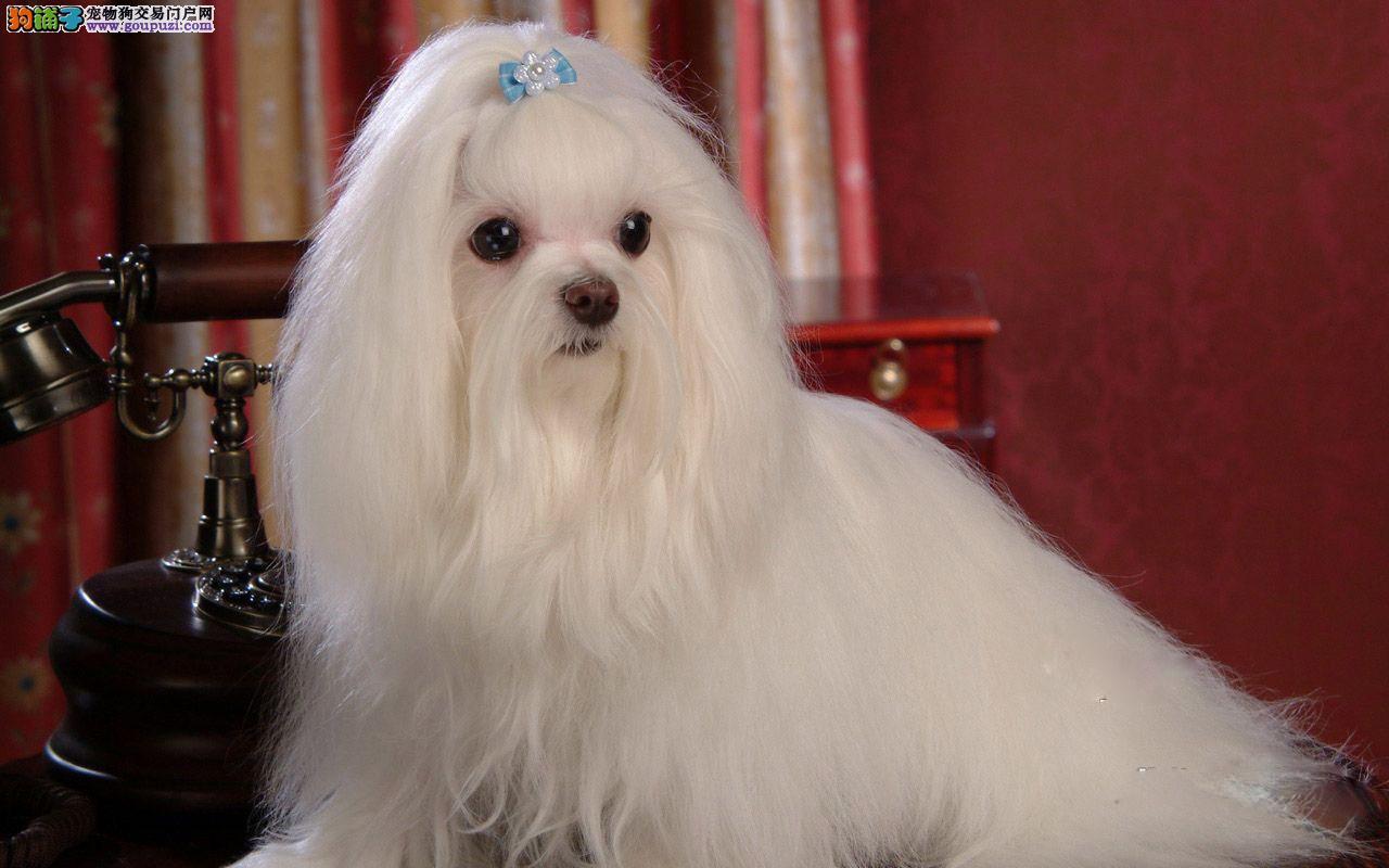 玛尔济斯犬专业繁育基地,多只可选,常年包运。