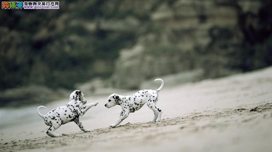 温柔可爱 活泼而又亲近的人斑点狗 有喜欢的联系我