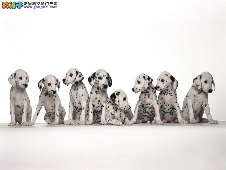 斑点狗那个地方的狗狗最好最便宜