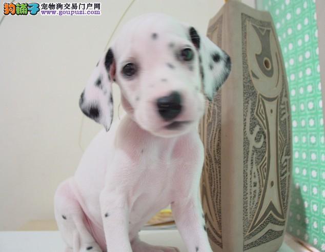 纯种斑点狗斑点宝贝多少钱 斑点狗价格那里有卖斑点狗