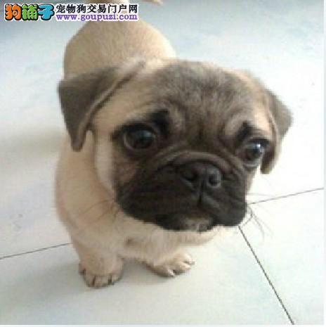 高品质的岳阳巴哥犬找爸爸妈妈价格美丽品质优良