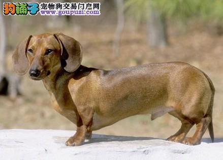 腊肠 短腿长身 史上唯一会捕捉老鼠的小猎犬 狗拿耗