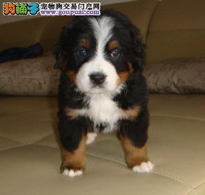 冠军犬后代幼犬 伯恩山犬出售 纯种健康 疫苗已做齐