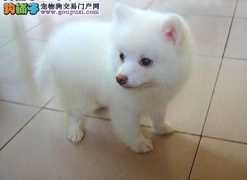 纯种银狐犬深圳犬舍专业繁殖纯种银狐犬、疫苗做齐