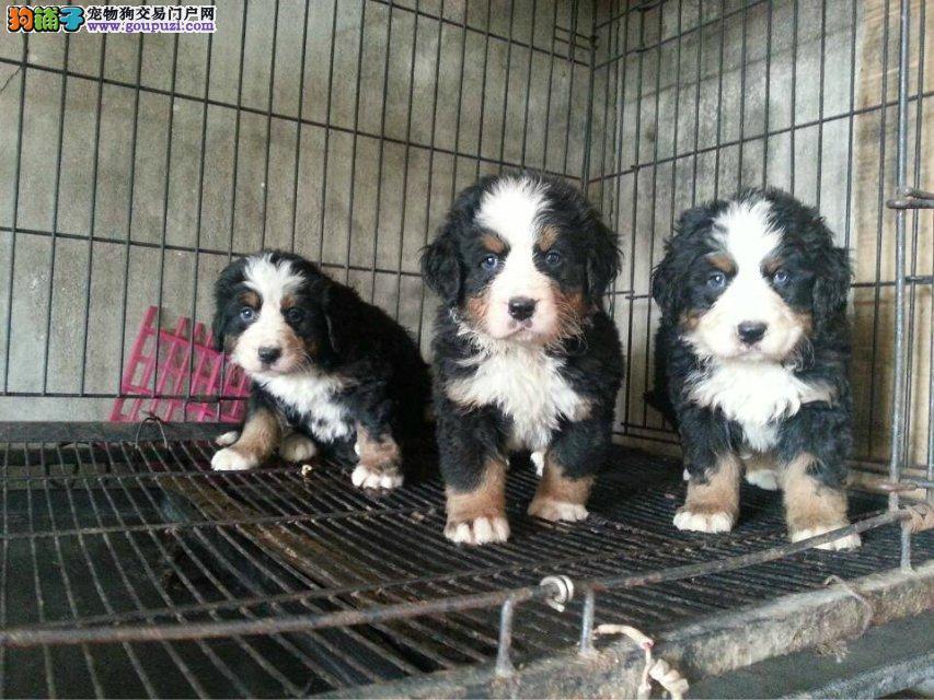 正规犬舍出售伯恩山犬。品相佳纯血统犬舍直销