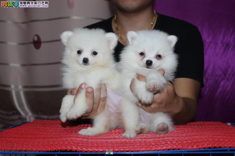 南京纯种血系银狐幼犬出售 骨量超大超帅气