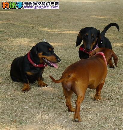 出售极品腊肠犬宝宝 活泼可爱 健康保证 签订.