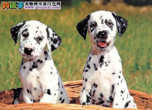 山东哪里买得到 斑点幼犬 购买有保证!
