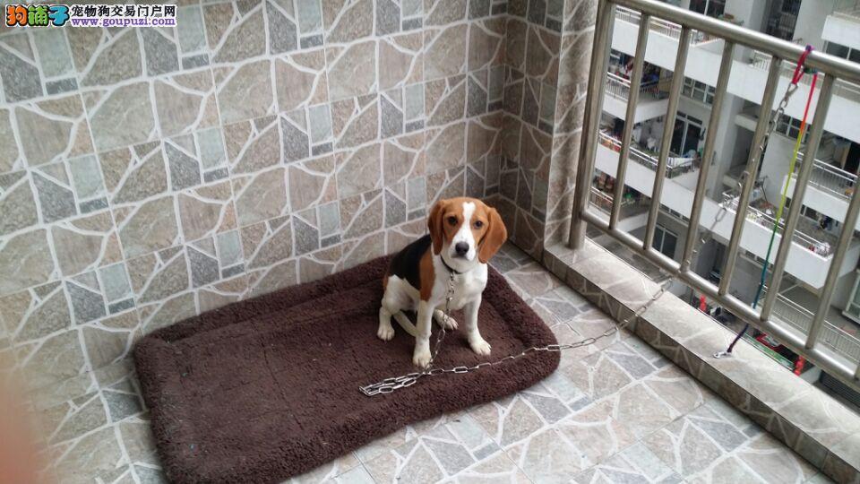 联兴犬舍出售纯种比格猎犬(米格鲁)售后包100天