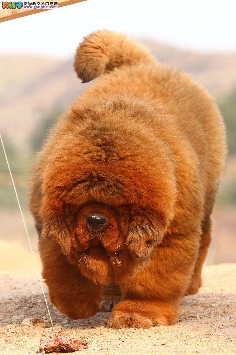 实物拍摄 高品质大狮头藏獒 品质保终身 健康保三年