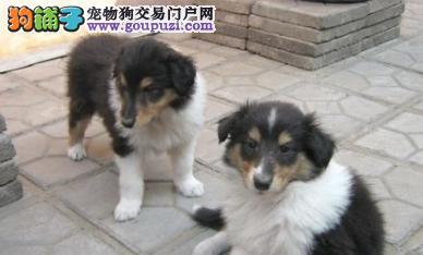 百分百健康纯种苏牧热卖中微信咨询看狗狗照片