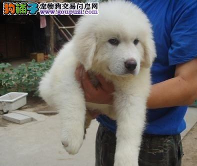 大骨架纯种大白熊幼犬多只可选签协议纯白毛量足