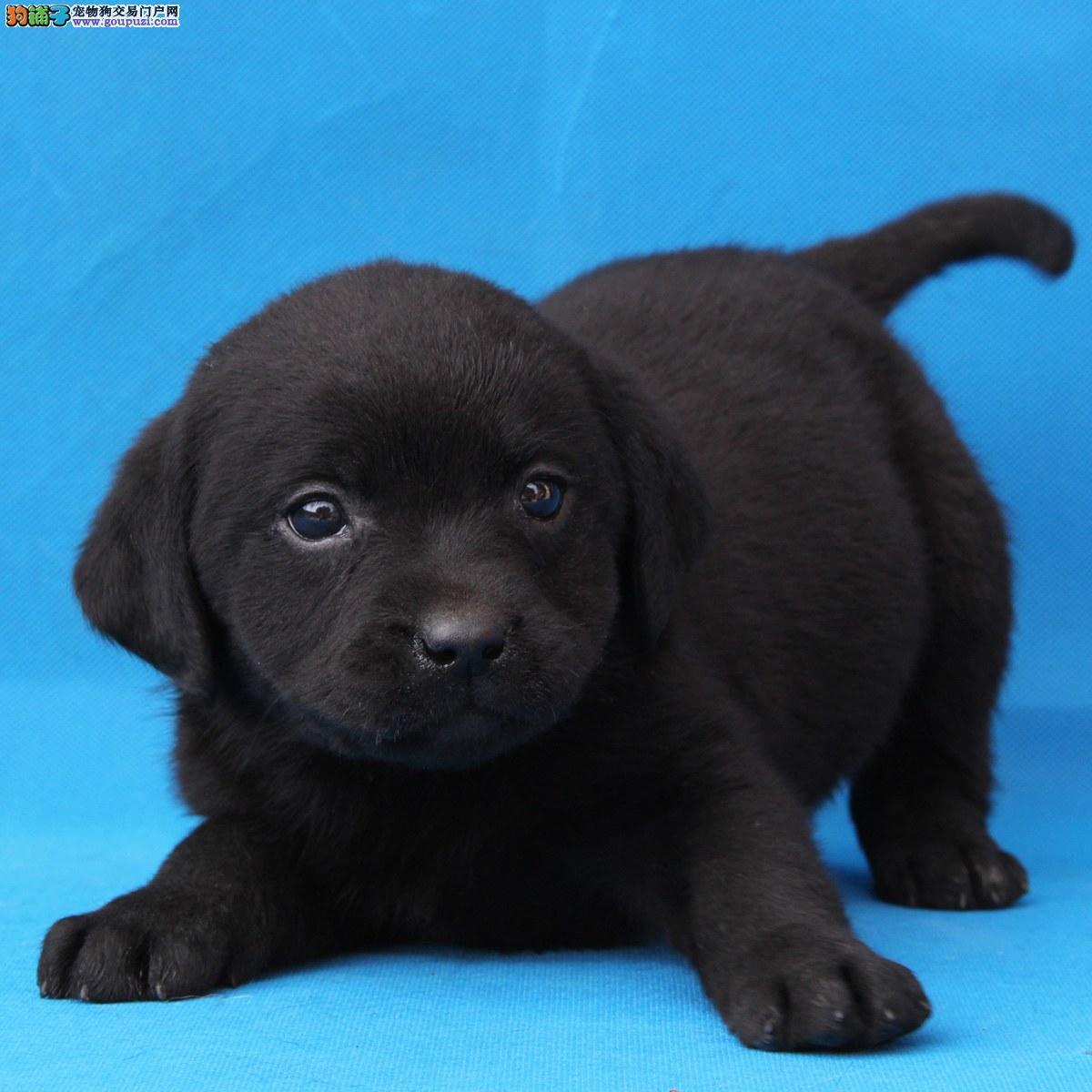 纯种健康拉布拉多幼犬大骨架宽嘴黑色金色奶油色可选
