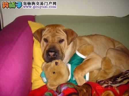 杭州那里卖沙皮狗杭州沙皮狗多少钱沙皮狗幼犬多少钱