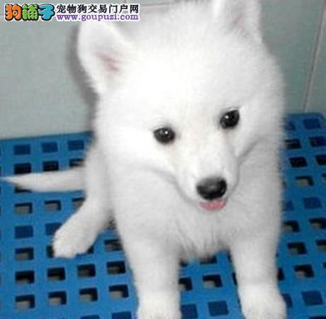 出售美女银狐尖嘴幼犬欢迎到狗场挑选