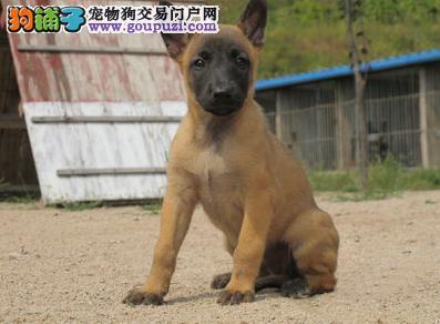 顶级优秀的纯种上海马犬热销中保证冠军级血统