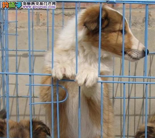 拉萨出售苏格兰牧羊犬小狗.拉萨纯种苏格兰牧羊犬出售