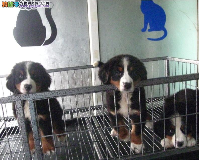西宁纯种伯恩山犬.西宁出售伯恩山犬.西宁卖伯恩山小狗