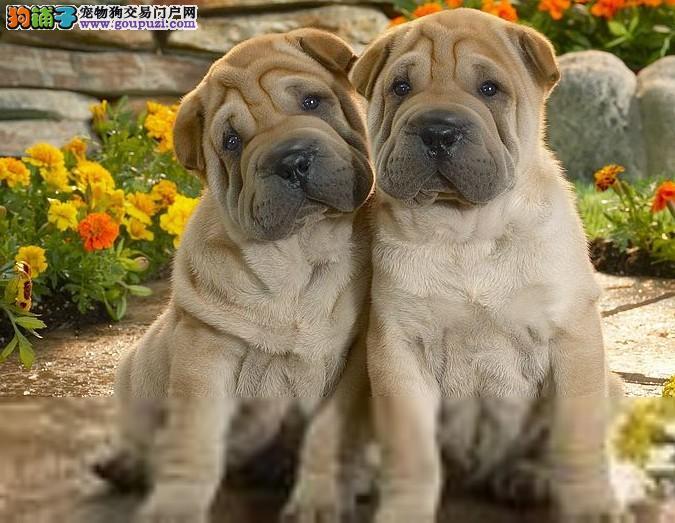 西宁纯种沙皮犬.西宁出售沙皮犬.西宁卖沙皮小狗的地方