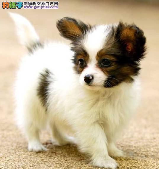 纯种蝴蝶犬宝宝紫禁皇犬直销 让顾客买的放心养的开心