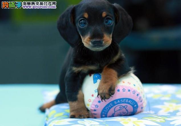 出售多种颜色纯种腊肠犬幼犬全国质保全国送货