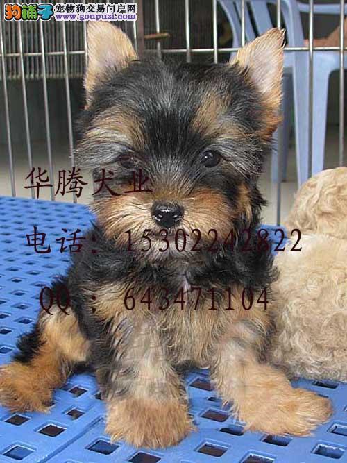 约克夏犬价格广州约克夏犬图片约克夏犬多少钱