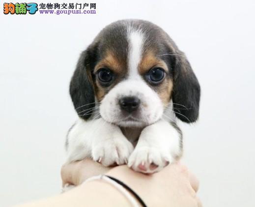 纯种比格幼犬3个月比格健康有保障有意者上门挑选