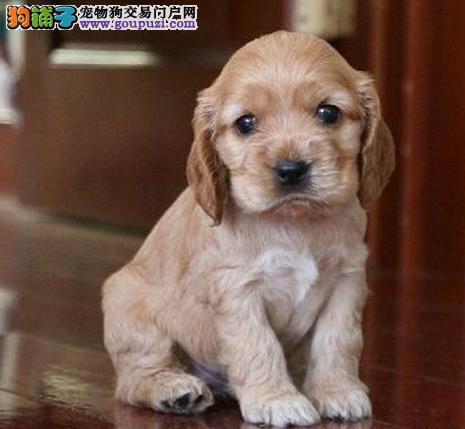 赛级可卡幼犬、一宠一证证件齐全、全国送货上门