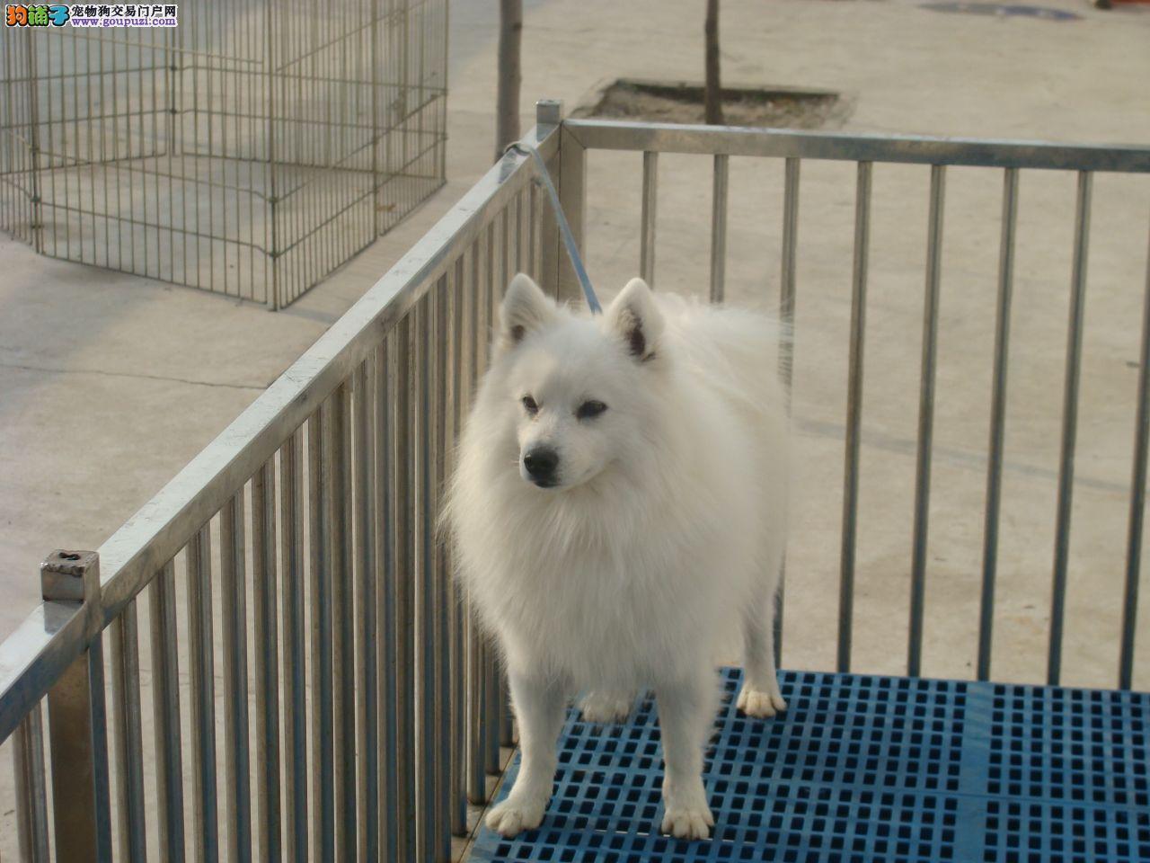 出售2个月纯种日本银狐幼犬