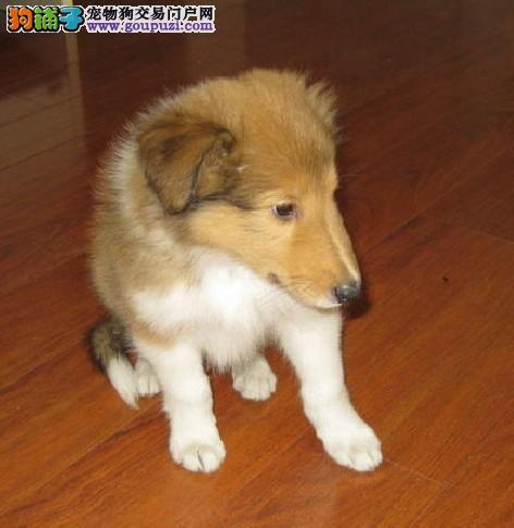 极品苏格兰牧羊犬幼犬 CKU品质绝对保证 绝对信誉保证