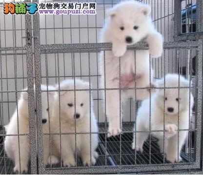 出售高品质银狐犬、品质第一价位最低、讲诚信信誉好