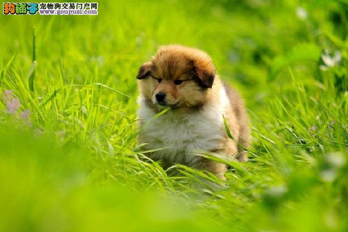 权威机构认证犬舍 专业培育苏牧幼犬提供护养指导