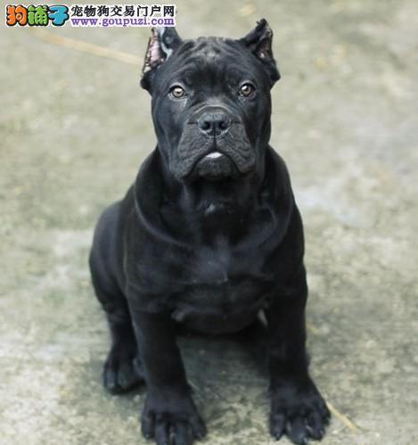 哪里有卖卡斯罗 卡斯罗护卫犬 卡斯罗价格 卡斯罗图片