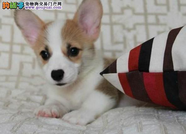 最小的家庭护卫犬 健康聪明 柯基犬