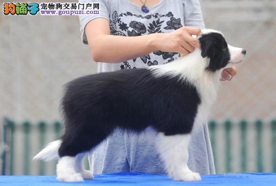 北京人出售最聪明的狗狗边境牧羊犬 免费训练指导