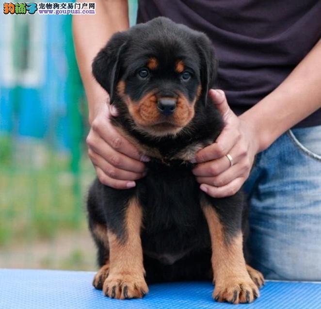 成都哪里有卖罗威纳犬的 成都罗威纳犬价格