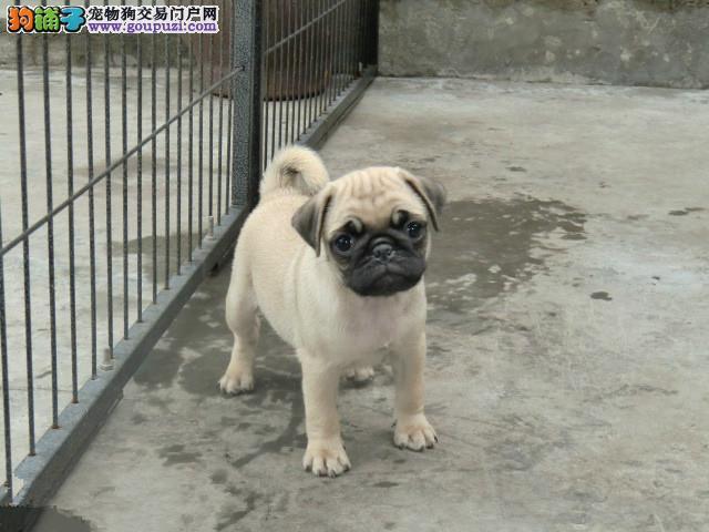 北京人出售纯种巴哥犬 诚信第一 售后第一 品质第一