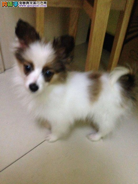 北京人繁殖纯种蝴蝶犬 保纯保健康 购买可签协议