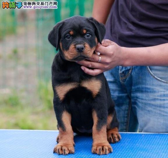北京人繁殖高品质罗威纳 防暴犬带证书出售中 质量三包
