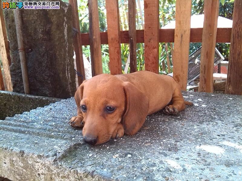 出售纯种的铁包金/黄色腊肠幼犬 公母都有上门选购