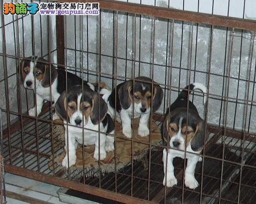 北京人繁殖纯种比格犬 保纯保健康 免费饲养指导!
