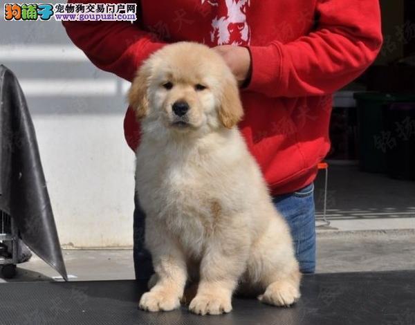 北京人繁殖纯种金毛 保纯保健康 终身免费饲养指导