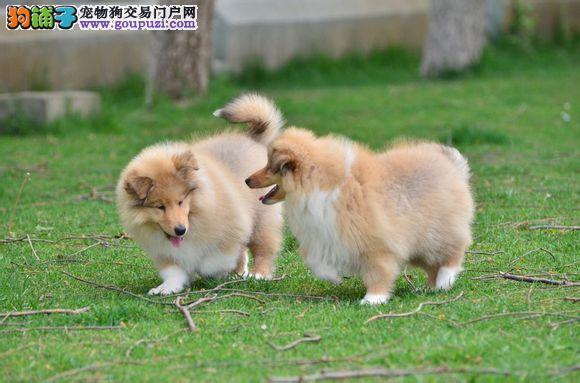坚强、结实的狗狗-苏牧